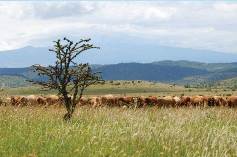 Cattle Grazing in rangeland